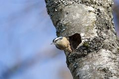 Red breasted nuthatch. Nest hole at  BC Canada Royalty Free Stock Photography