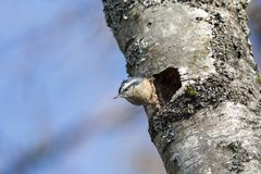 Red breasted nuthatch. Nest hole at  BC Canada Stock Photography