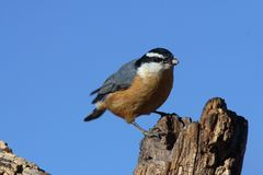 Red-breasted nuthatch with seed. Red-breasted nuthatch on tree with seed in beak Royalty Free Stock Image