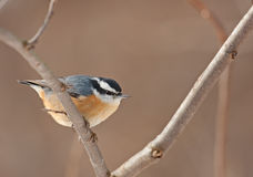 Red-breasted Nuthatch, Sitta canadensis Royalty Free Stock Photography