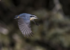 Red-breasted Nuthatch. (sitta canadensis Stock Image