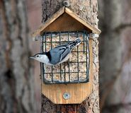 Red-Breasted Nuthatch Or  Sitta Canadensis Stock Image