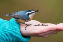 Red-breasted Nuthatch - Sitta canadensis. Red-breasted Nuthatch grabbing a seed out of an outstretched hand. Lynde Shores Conservation Area, Whitby, Ontario royalty free stock images