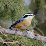 Red-Breasted Nuthatch Or  Sitta Canadensis Stock Images