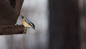 Red Breasted nuthatch (Sitta canadensis) sunflower seeds to go. Royalty Free Stock Photography