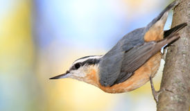 Red-breasted Nuthatch on Tree Stock Photography