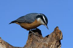 Red-breasted nuthatch on tree Stock Photos