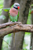 Red-breasted Parakeet Stock Images