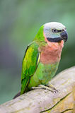 Red-breasted Parakeet Royalty Free Stock Photo