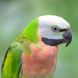 Red-breasted Parakeet. A female Red-breasted Parakeet (Psittacula alexandri), head shot profile Royalty Free Stock Photography