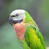 Red-breasted Parakeet Royalty Free Stock Images