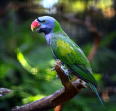 Red-breasted Parakeet Stock Photography