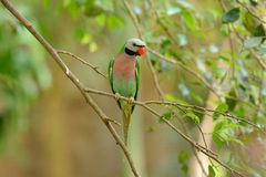 Red-breasted Parakeet (Psittacula alexandri) Stock Photos