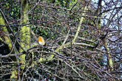 Red-breasted robin in bare tree branches Royalty Free Stock Images