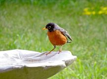 Red breasted Robin standing on white bird bath. Colorful, red breasted bird Robin standing on white bird bath with green grass background in summer garden Stock Images