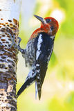 Red-breasted Sapsucker royalty free stock images