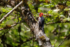 Red breasted sapsucker. At vancouver bc canada Royalty Free Stock Image