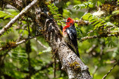 Red breasted sapsucker. At vancouver bc canada Stock Images