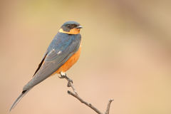 Red-breasted swallow Stock Images
