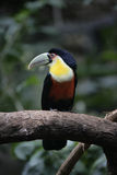 Red-breasted toucan, Ramphastos dicolorus Royalty Free Stock Photos