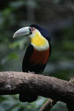 Red-breasted toucan, Ramphastos dicolorus Royalty Free Stock Photography