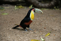Red-breasted toucan, Ramphastos dicolorus. Single bird on floor, Brazil Stock Images