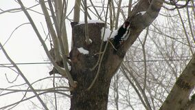Red-breasted woodpecker climbing the tree and looking for food. Extraction. Hunting. Winter.  stock footage