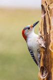Red-breasted Woodpecker Royalty Free Stock Photos