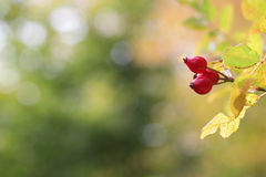 Red briar with abstract autumn background Royalty Free Stock Photos