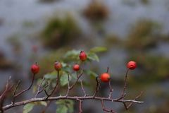 Red briar. Autumn bush with red rosehips Royalty Free Stock Image