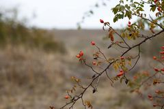 Red briar. Autumn bush with red rosehips Stock Images
