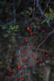 Red briar. Autumn bush with red rosehips Royalty Free Stock Photos