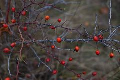 Red briar. Autumn bush with red rosehips Royalty Free Stock Photo
