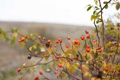 Red briar. Autumn bush with red rosehips Royalty Free Stock Photography