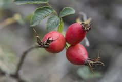 Red briar berries on a branch cluseup Royalty Free Stock Photography
