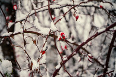 Red briar berry in snow Stock Photos