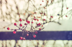 Red briar in wintertime Royalty Free Stock Images