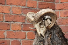 Red brick with animal skull. Animal skull with red brich background Royalty Free Stock Photos