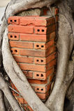 Red brick with banyan. Royalty Free Stock Images