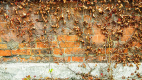 Red brick wall background and dry ivy leaves plants Royalty Free Stock Photos