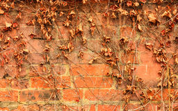 Red brick wall background and dry ivy leaves plants Stock Photos