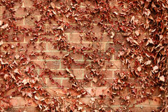 Red brick wall background and dry ivy leaves plants Stock Photography