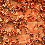 Red brick wall background and dry ivy leaves plants Stock Images