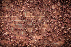 Red brick wall background and dry ivy leaves plants Royalty Free Stock Image