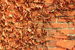 Red brick wall background and dry ivy leaves plants Stock Photo