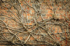 Red brick wall background and dry ivy plants Royalty Free Stock Image