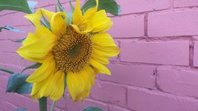 Red brick wall with bright sunny yellow sunflower royalty free stock image