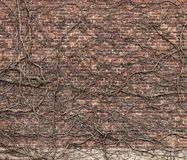 Red brick wall with climbing old dried plant. stock photos
