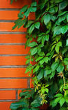 Red brick wall covered in green ivy Royalty Free Stock Image