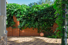 Red brick wall fence and wild grapes hanging down on it Stock Image